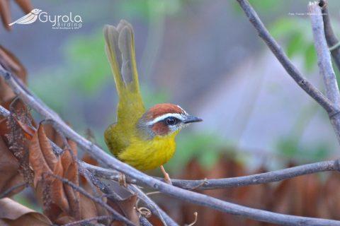 Basileuterus rufifrons - Aranero Cabecirrufo